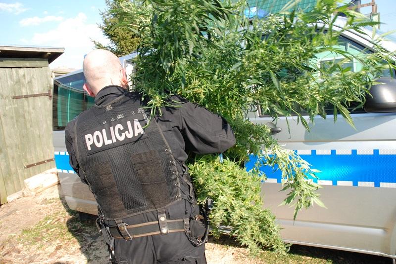 Policjanci z Człuchowa zlikwidowali plantację konopi indyjskich w Brzeźnie