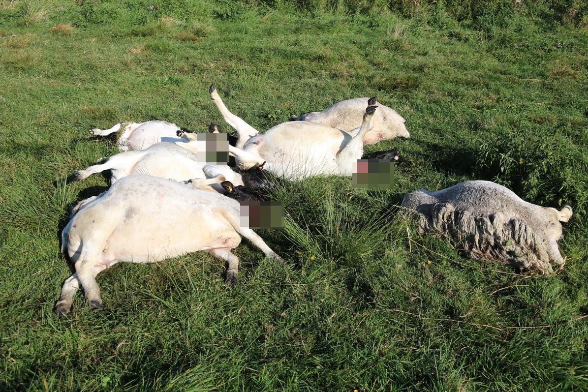 Trzy psy uciekły z gospodarstwa i zagryzły owce w Polnicy w gminie Człuchów