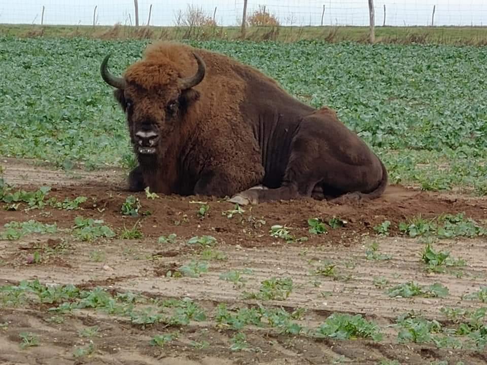 Żubr, którego niedawno widziano w okolicach Bytowa, nie żyje. Ktoś go zastrzelił i odciął mu głowę