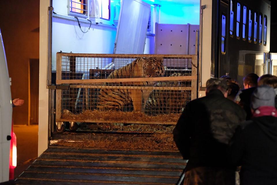 Dwa tygrysy z granicy polsko-białoruskiej dochodzą do formy w zoo pod Człuchowem