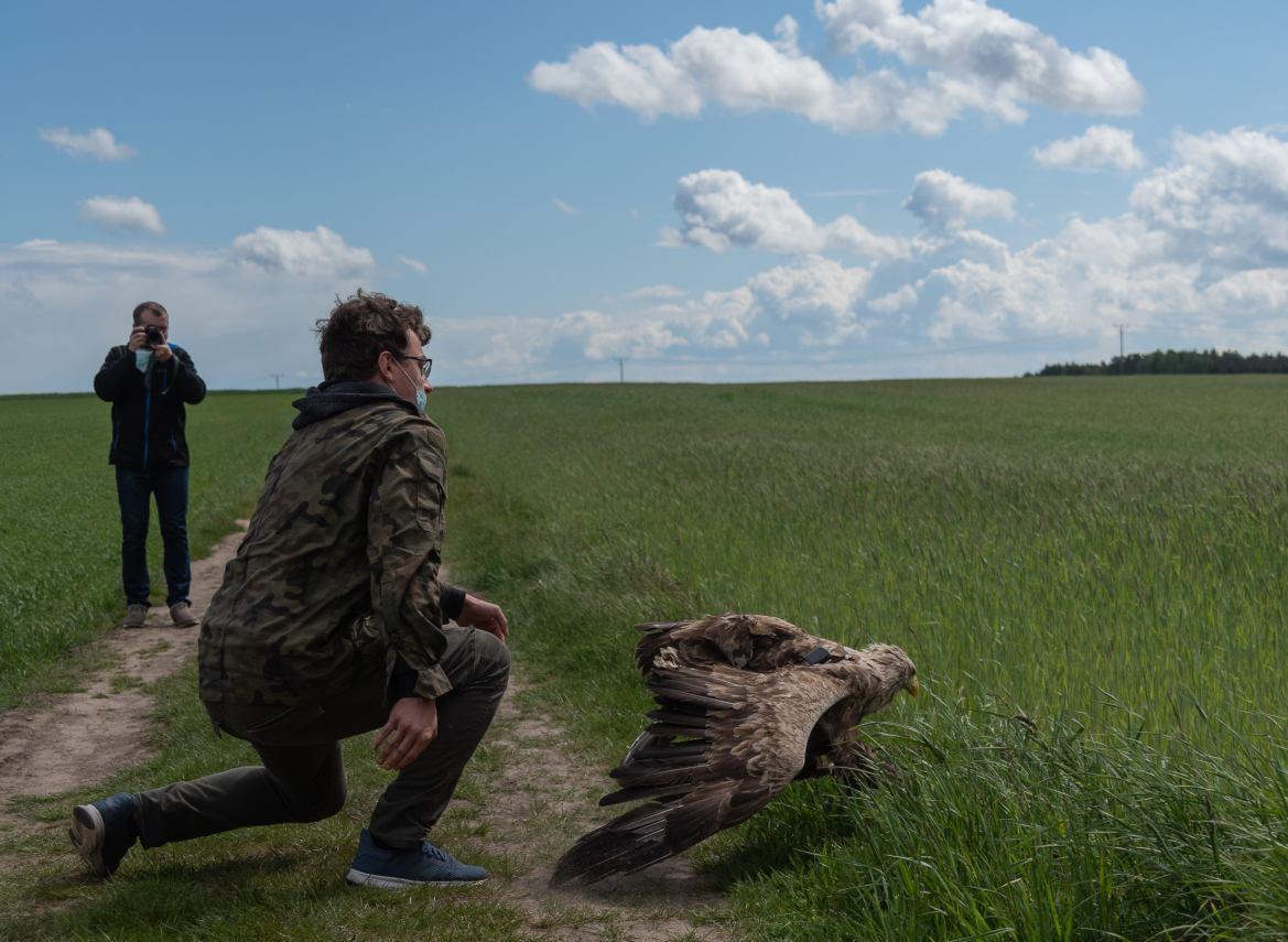Bielik z Orzełka w gminie Kamień Krajeński nie wzbił się w powietrze FOTO