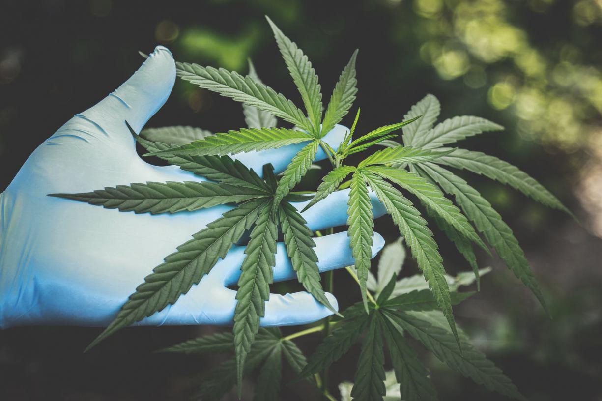 Tucholscy kryminalni zatrzymali podejrzanego o posiadanie i uprawę marihuany