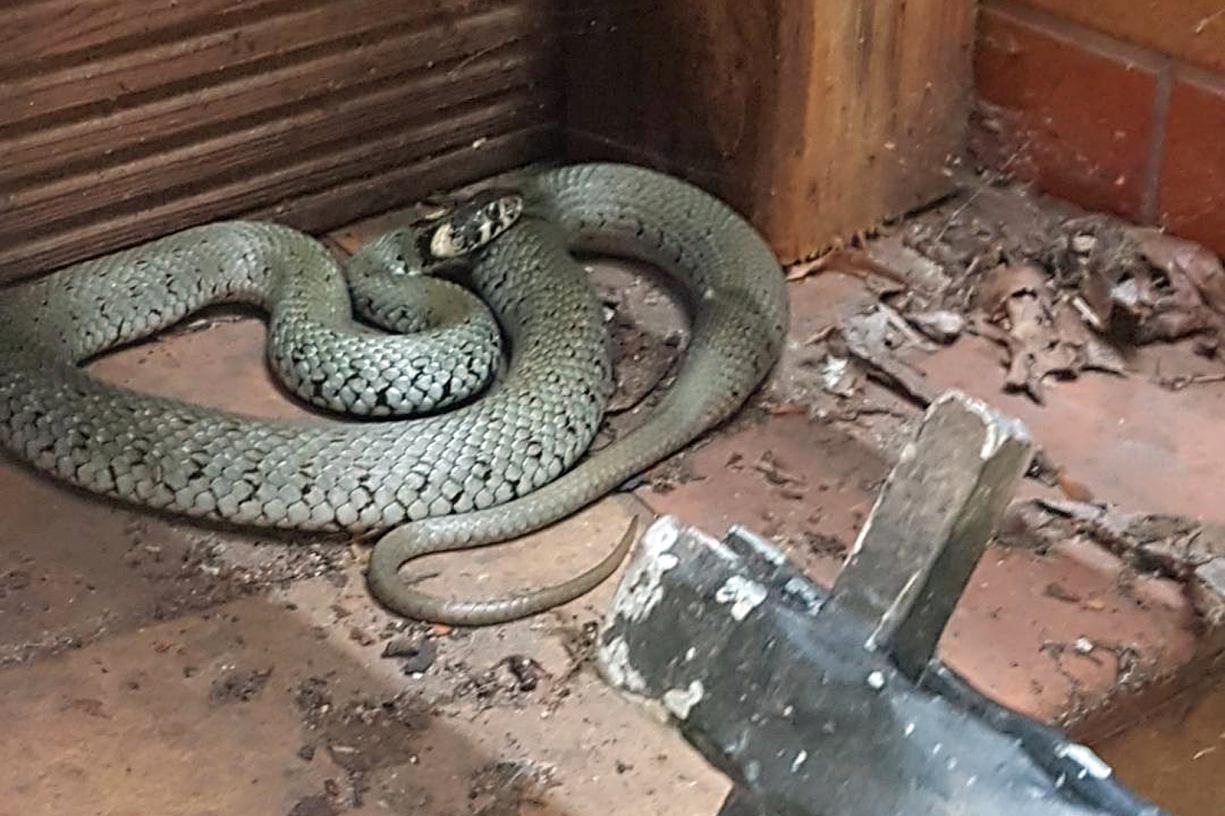 Półtorametrowy wąż ukrył się pod tarasem domu w Wielu, w powiecie kościerskim