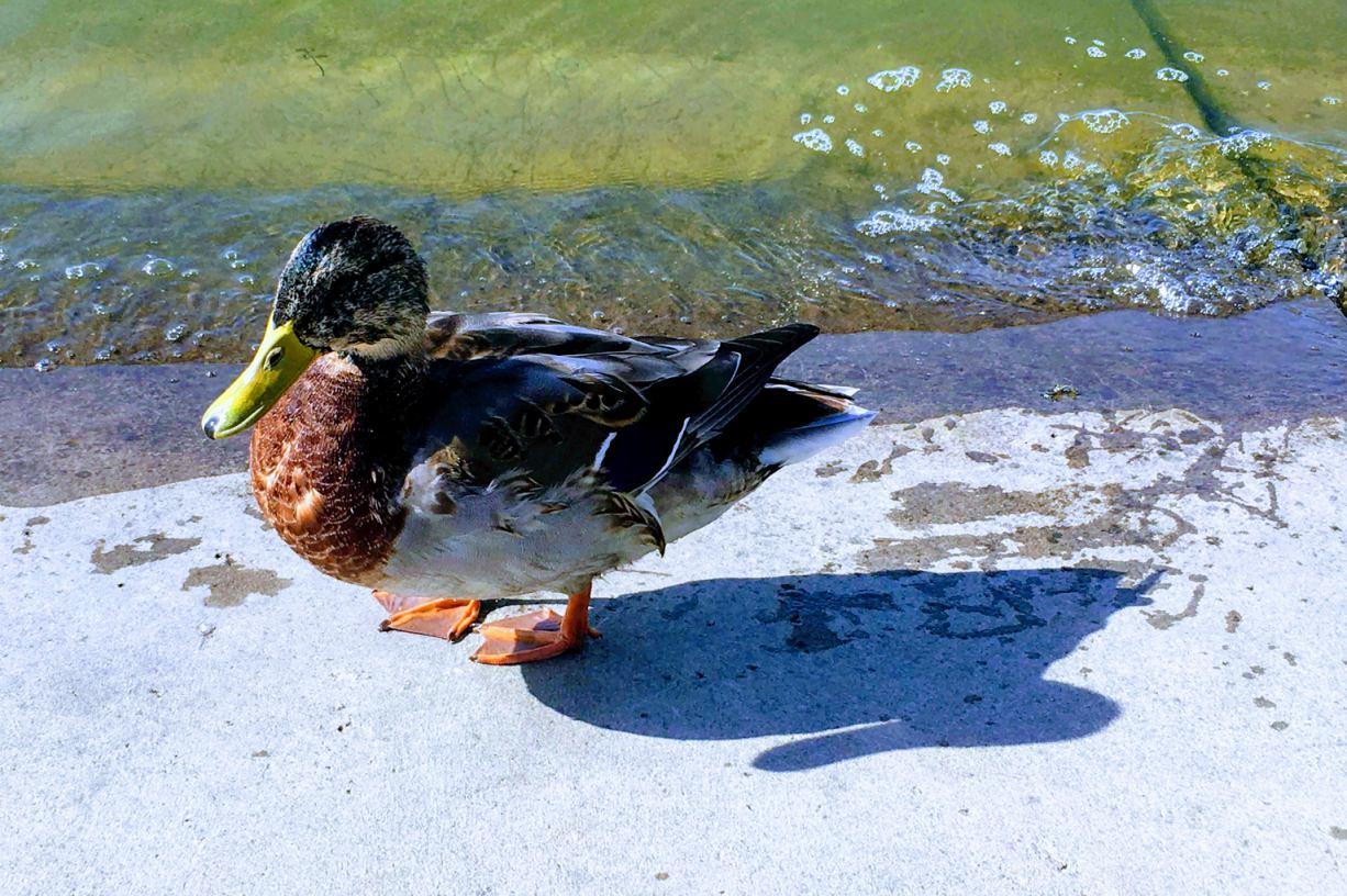 Nie dokarmiajcie ptaków wodnych chlebem - apelują leśnicy w regionie