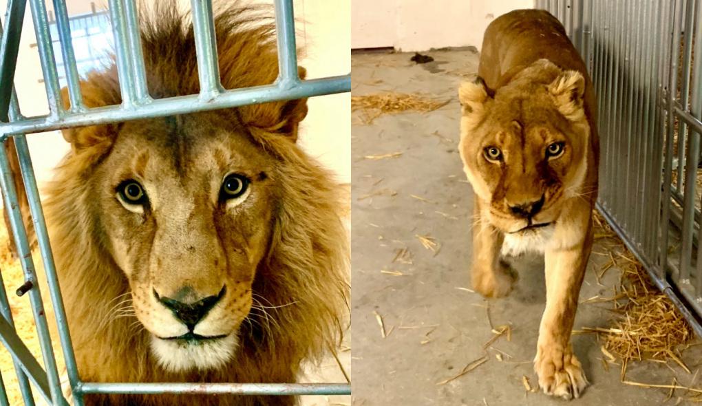 W zoo pod Człuchowem zamieszkały dwa lwy Ryta i Torko. Zostały skonfiskowane z cyrków we Francji i Hiszpanii FOTO, ROZMOWA