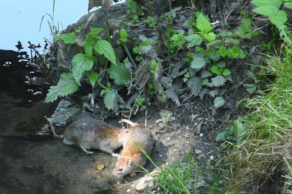 Szczurzy problem w Kościerzynie. Gryzonie upodobały sobie park pomiędzy ulicą Wojska Polskiego i Dworcową