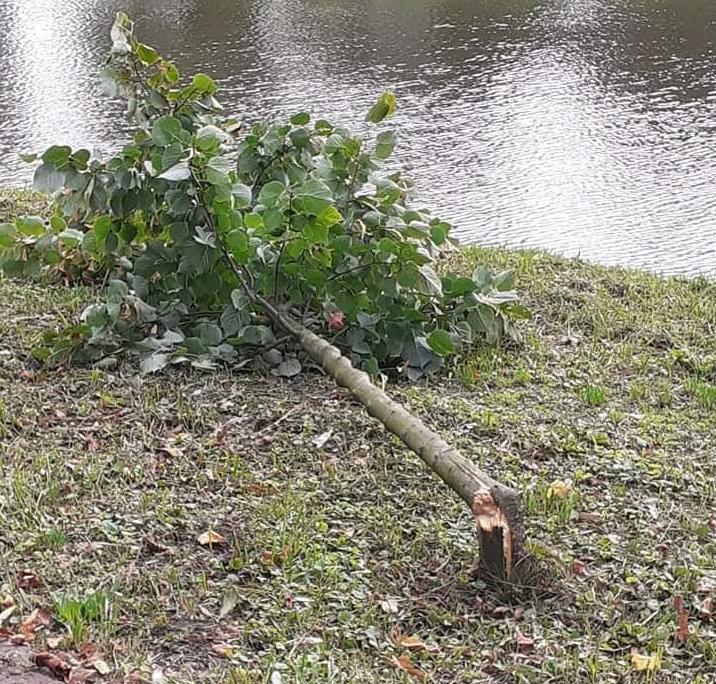 W Parku 1000-lecia w Chojnicach wandale złamali 10-letnią lipę